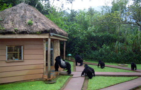 Gorillas im Gorilla Forest camp